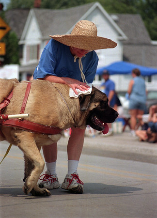 "98/08/15 Weather/ Kid parade-Rachel Naber photo-Pat Fralick keeps ""Mycroft"", her 217 pound, two and a half year old English mastiff cool with a wet cloth on his head as he helps her sell tickets for the Newfane Eastern Star on Main street in Newfane."