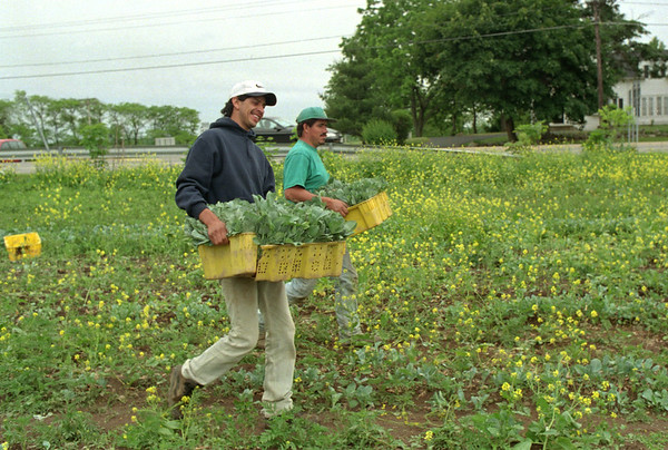 98/06/05 Carrying Cabbage *Dennis Stierer Photo - Jose Quintaana and Hector Ruiz carry cabbage seedlings to a waiting wagon for transport to another field for planting. All cabbage growing is done by hand.