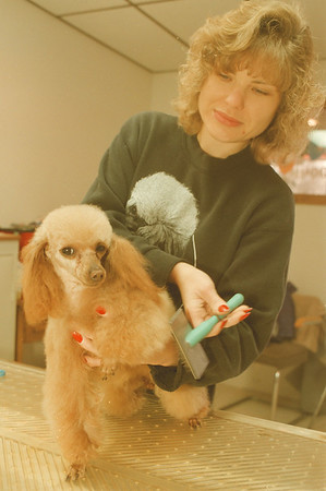 """98/01/30-- groomer --Takaaki Iwabu photo-- Kris Crotty, co-owner of Pretty Baby Grooming Palace, takes care of her own dog """"Peaches,"""" 2-year-old toy poodle at the store which will have a grand opening Monday. (She offers a help to SPCA grooming animals for adoption.... Bill's story) <br /> <br /> Color, 1A, Tuesday"""