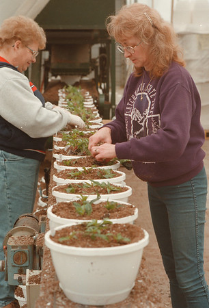 """98/02/17 Spring Plants *Dennis Stierer Photo  - At the H.A. Treichler & Sons greenhouse, spring is already under way as some 23,000 hanging plants are be be readied for blooming this spring. On the left is Kathy Goss and right is Carol Kneeppel planting  """"Xanthia's""""."""