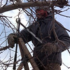 98/03/12 Singer Farm-Rachel Naber Photo-Ruben Gomar of Wilson works on pruning apple trees at Singer farm in Olcott.