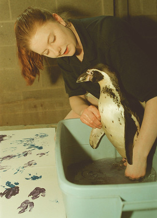 """98/02/25-- penguin print2--Takaaki Iwabu photo-- Aquarist Michele Long washes off """"Opus"""" feet after the pengun painted on the white board. <br /> <br /> black and white"""