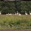 97/08/27 Goose Patch - James Neiss Photo - The Geese were hangin out in a meadow at Rivendell Farm on Rt#425 in Wilson.