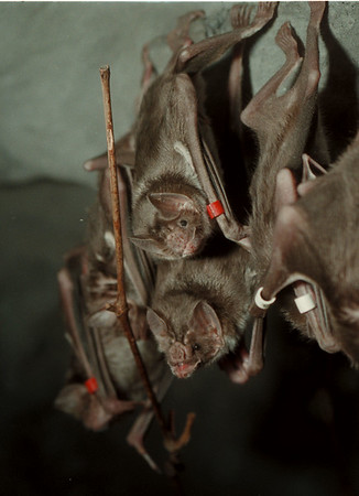 98/03/18 Bat's at Zoo 2 - James Neiss Photo - Vampire bats at the Buffalo Zoo.