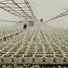 98/02/17 Hanging Plants *Dennis Stierer Photo - Terry Treichler waters just some of the over 23,000 hanging plants the Treichler greenhouse on Saunders Settlement Road will make up in time for the spring gardeners.