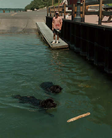 98/07/29 Fetch - James Neiss Photo - Bart leads Goliath in a swim for the stick at the Lewsiton boat launch where thier master, Chris Salada of Lewiston, keeps close eye on the two pooches.