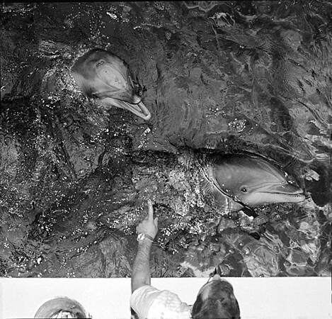 1/13/97--DOLPHINS--CAPPY PHOTO--KURT BUTKIEWICZ, AQUARIST OF MARINE MAMMALS, OF MISTIC CONN. PUTS THE NEW DOLPHINS THROUGH THEIR PACES. BUTKIEWICZ, WHO CAME FROM CONN. WITH THE DOLPHINS, IS IN RESIDENCY UNTIL THE END OF THE MAMMALS STAY AT THE NF AUARQIUM.