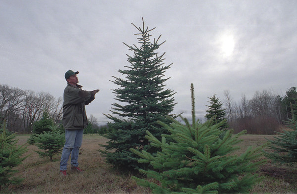 98/12/07 booth trees 2--dan cappellazzo photo--don booth checks out a mature blue spruce.