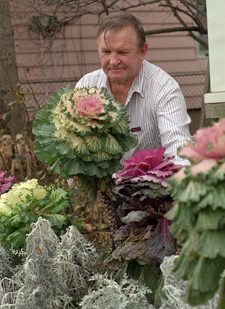 """98/01/06--WINTER GARDEN--DAN CAPPELLAZZO PHOTO--TED NIEWISIEWICZ, OF 518 18TH STREET, ADMIRES THE  FLOWERING CABBAGE IN HIS FRONT YARD. NIEWISIEWICZ CAN BELIEVE THAT HIS PLANTS HAVE SURVIVIED THE FIRST BLAST OF WINTER; """" EVEN WITH THE SCARS OF WINTER MY GARDEN CONTINUES TO GROW.""""<br /> <br /> 1A"""
