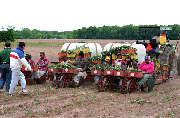 98/06/05 Planting Cabbage *Dennis Stierer Photo - Workers come from Niagara Falls and Buffalo to work on the Voelpel Farm. A crew of 16 plant cabbage in a field along Youngstown Rd. Some of these workers have worked with Harold Voelpel for over 20 years.