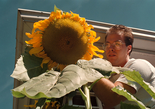 97/09/05 Big Sun Flower - James Neiss Photo - Jason Cramer shows off a 10 foot sunflower planted by his wife in the front yard of their home on 79th Street.