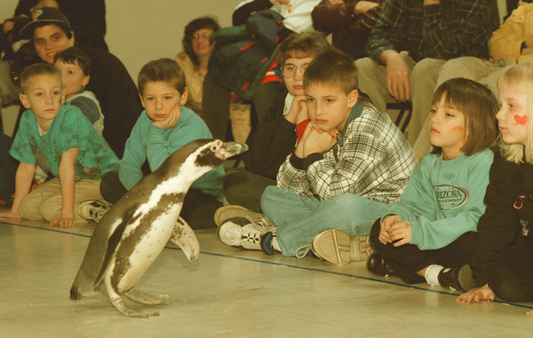 98/03/07--penguin day 1--Takaaki Iwabu photo-- A Peruvian Penguin greets the children who visited the Penguin Day at the Aquarium of Niagara Saturday. <br /> <br /> local, bw, Sunday