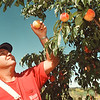 9/4/97--peach fest.--Takaaki Iwabu photo-- Harry Raby, owner of Diller-Raby Farm, picks up peaches at his firm Thursday. (For Ann's peach fest preview...) <br /> <br /> 1A, FRIDAY, color