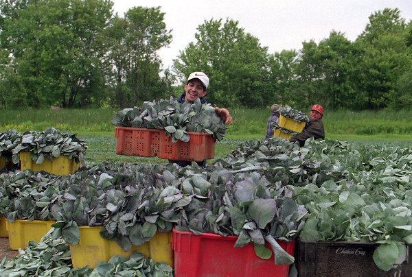 98/06/05 Loading Seedlings *Dennis Stierer Photo - Jose Quintana loads another basket of cabbage seedlings on the wagon.
