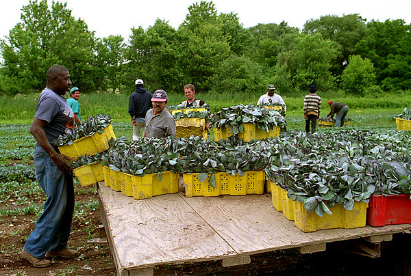 98/06/05 Loading Wagon *Dennis Stierer Photo - An unknown worker slides another two baskets of cabbage seedlings on a wagon at a field on the Baker Farm.