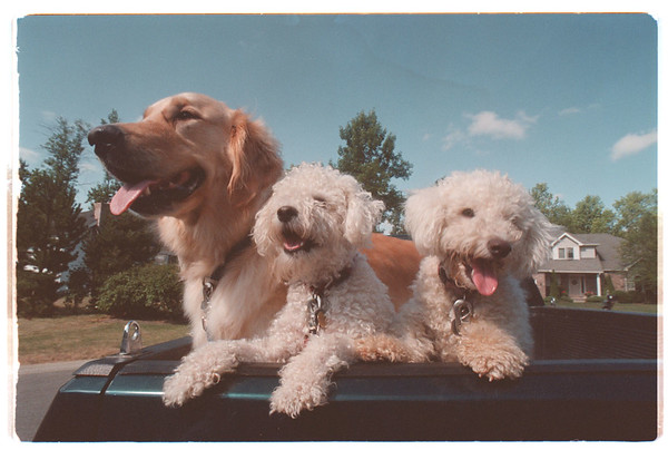 97/08/05 Gerbasi Dogs - James Neiss Photo - Tom and Kathy Gerbasi's dogs L-R - Bob, Dan and Syggy in the back of their pickup truce in Lewiston.