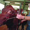 98/08/06--FAIR--DAN CAPPELLAZZO PHOTO--BETRICE, A 5-YR-OLD SHORTHORN COW, IS BEING PREPARED FOR SHOW BY HER