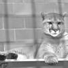 1/8/97 Dakotah Cougar 2 - James Neiss Photo - Buffalo Zoo
