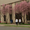 98/04/14 Blooming Trees *Dennis Stierer photo - The trees are blooming early this year as seen at the Niagara County Office Building. Unknown workers returning from lunch.