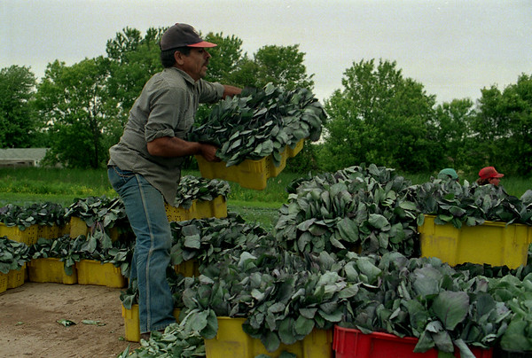 98/06/05 Stacking Seedlings *Dennis Stierer Photo - Ramon Morfin stacks cabbage seedlings on the back of a wagon for transport to another field for replanting.