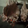 98/03/18 Bat's at Zoo - James Neiss Photo - Vampire Bats at the Buffalo Zoo.