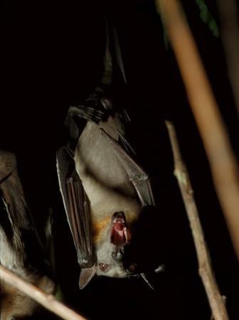 98/03/18 Bat's at Zoo 3 - James Neiss Photo - Straw Colored Vampire Bat at the Buffalo Zoo.
