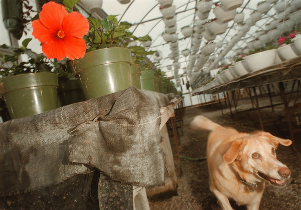 """98/03/07-- Spring 1--Takaaki Iwabu photo-- """"Missy,"""" a dog at Boka Farm's Stand passes by an early-bloomed hibiscus as he plays inside the green house in which many spring plants and flowers were getting ready to be bloomed. <br /> <br /> feature, Sunday color"""