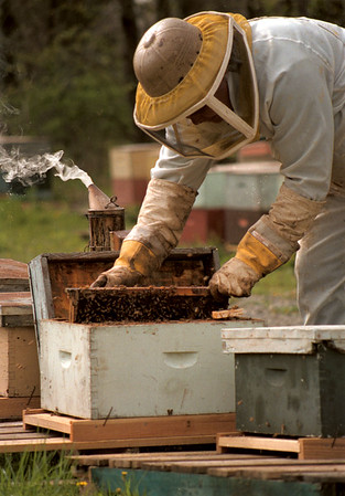 98/04/29 BEE Keeper-Bruce Fiegle of Appleton is a bee keeper that rents his bees to area farmers for polination of fruit trees and crops.