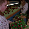 98/01/26--apples--Takaaki Iwabu photo-- Geralding Moreland, left, and Janie Soemann, workers at Sun Orchard Fruit Company, pack Empire Apples into boxes in Burt, NY. (for Buron's on shipping apples to Oregon... ) color