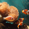 97/09/25--Aquarium --Takaaki Iwabu Photo-- Picutre of anemone and clownfish (Anemonefish) at Aquarium of Niagara. <br /> <br /> For Sea & Do Festival story, N & D