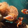 97/09/25--Aquarium --Takaaki Iwabu Photo-- Picutre of anemone and clownfish (Anemonefish) at Aquarium of Niagara. <br /> <br /> For Sea & Do Festival story, N & D