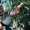 7/29/97-- Sanger Farms--Takaaki Iwabu photo-- Glenn Sanger, owner of Sanger Farms, reaches to green apples at his farm in Youngstown. (for Liz's story on possible cut on electric rates and effect on the area's farmers...)<br /> <br /> 1A, color, Wednesday