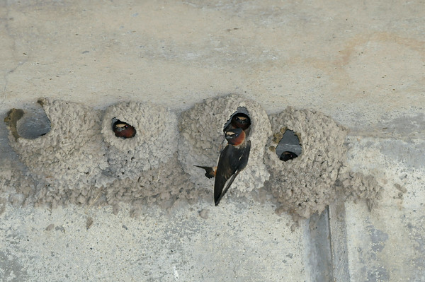 110711 Cliff Swallow 2 - Enterprise