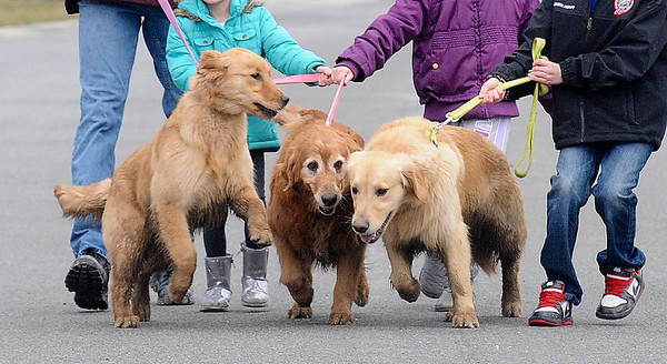James Neiss/staff photographerWheatfield, NY - Whoa Doggies: Orphaned dogs, from left, Zack, Chole and Sheeba seem happy and fun loving as they go for a walk with the Cacciatore family that adopted them.