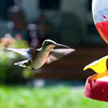CAMP VISITOR: Using a camera on a tripod with a radio remote trigger, made it possible to catch a humming bird visiting a feeder at photographer Jim Neiss' summer camp in Franklinville.