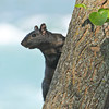 James Neiss/staff photographerNiagara Falls, NY - Tourists visiting Niagara Falls delight at the site or our Black Squirrels like this one on Goat Island.