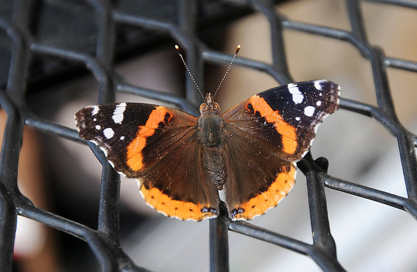 James Neiss/staff photographerNorth Tonawanda, NY - Some area residents are reporting a rash of butterfly aerobatics and window crashing around their homes. The culprit is the Red Admiral Butterfly like this one taking a break on a trailer at an  Eddy Drive home.