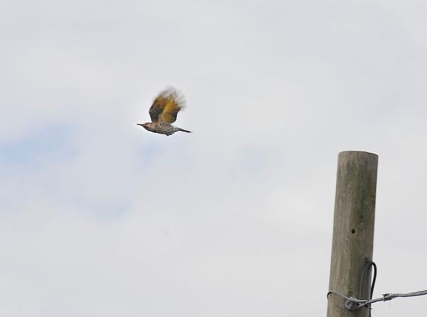 James Neiss/staff photographerNiagara Falls, NY - A Northern Flicker Woodpecker takes flight from a pole on Whirlpool Street.