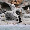 James Neiss/staff photographerNiagara Falls, NY - Penguin's at the Aquarium of Niagara enjoy the balmy weather inside their habitat.