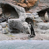 James Neiss/staff photographerNiagara Falls, NY - Penguin's at the Aquarium of Niagara enjoy the balmy weather inside their habitat.