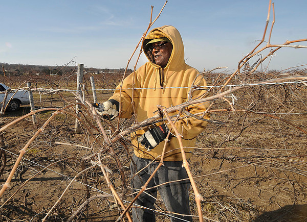 James Neiss/staff photographerRansomvilles, NY - Pruner Hopeton Hall takes advantage of the nice weather to prune Traminette Grapes at the  Diller Raby Farm in Lewiston. Hall boasted that this is the only farm in the area to have these wine and dinner grapes developed by Cornell University's grape breeding program.