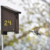 James Neiss/staff photographerGrand Island, NY - A bluebird takes wing from birdhouse 24 along West River Parkway on Grand Island.