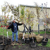 James Neiss/staff photographerNiagara Falls, NY - Niagara Falls City Arborist Paul Dickinson stands among 12 Cleveland Select trees donated to the city by Praxair for Arbor Day. The trees will be planted at the Hyde Park Golf Course and city parks. Dickinson, said the city will be planting about 100 other trees as part of a continuing city tree planting grant. Though all those trees are reserved, residence can request a tree to be planted on the city owned margins in front of homes, typically between the sidewalk and street, by calling the DPW Parks Department.