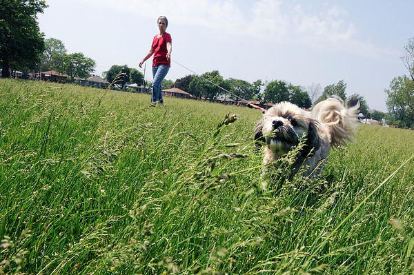 James Neiss/staff photographerNiagara Falls, NY - Mindy the dog is almost swallowed up by the tall grass at the 70th Street park as she goes for a walk with her owner Mary Ann Masella.