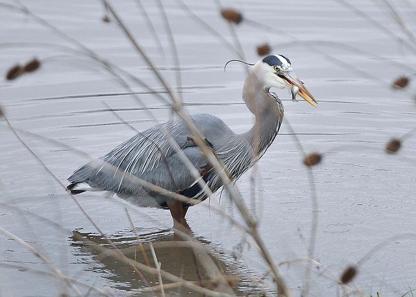 James Neiss/staff photographerGrand Island, NY - A Heron gets a tasty fish while hunting the waters at Beaver Island State Park.