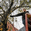 James Neiss/staff photographerNiagara Falls, NY - Stagehand Chris Brown with the International Alliance of Theatrical Stage Employees Union Local 121, said he and co-workers are decorating each of the trees on Old Falls Street with approximately 1600 bulbs for the holiday season.
