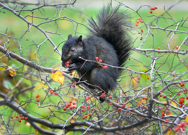 James Neiss/staff photographerNiagara Gazette, NY - One of the famous Niagara Falls Black Squirrels enjoys a berry lunch at a popular bush on Goat Island. At least 3 other squirrels were seen doing the same on the cool fall day.