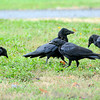 James Neiss/staff photographerNiagara Falls, NY - A murder of crows scavenge for a snack at Hyde Park.