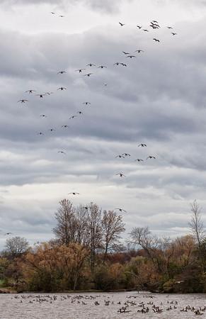 131106 Hyde Park Geese 2
