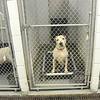 141227 SPCA pitbull 4